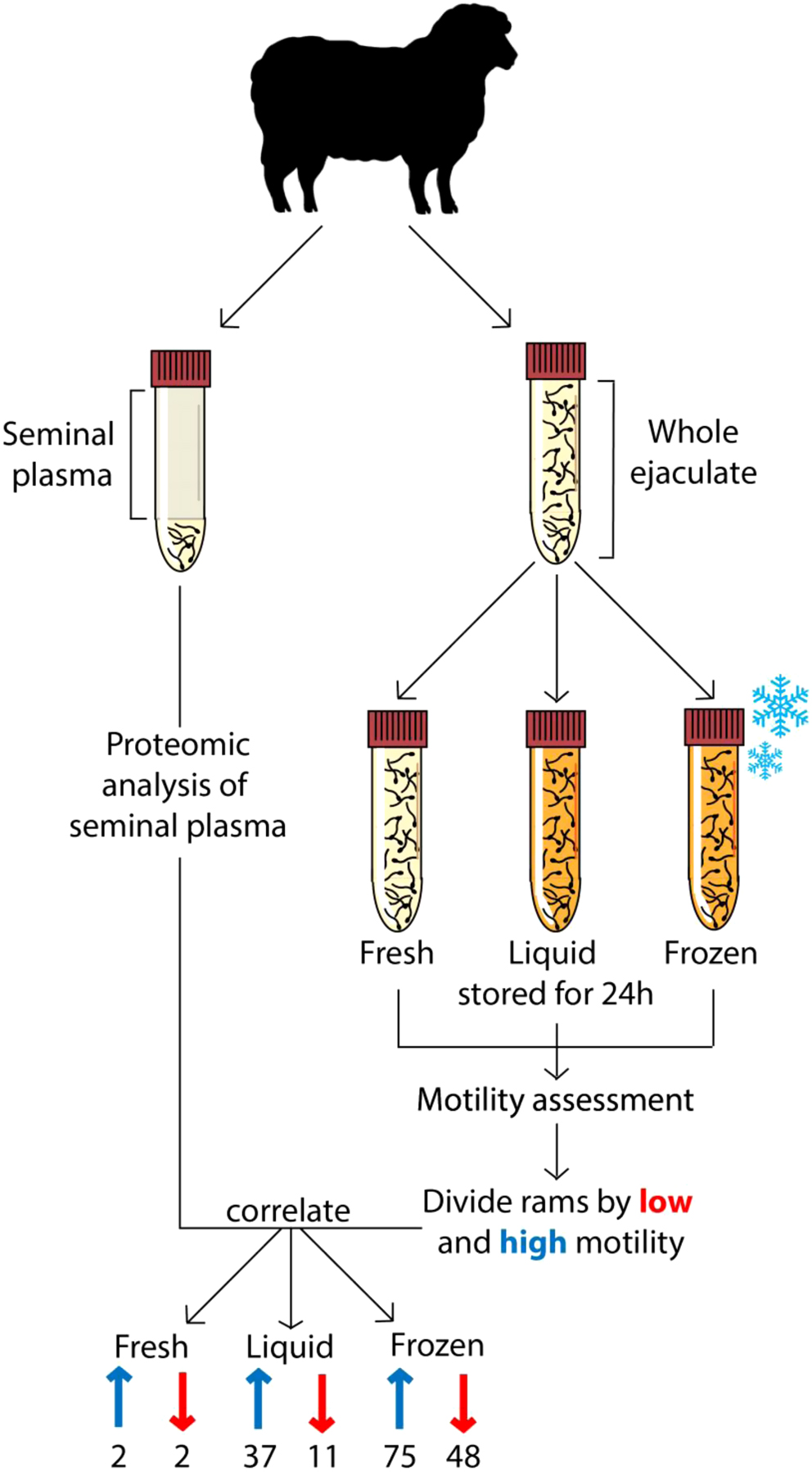 Ram seminal plasma and its functional proteomic essment in ...