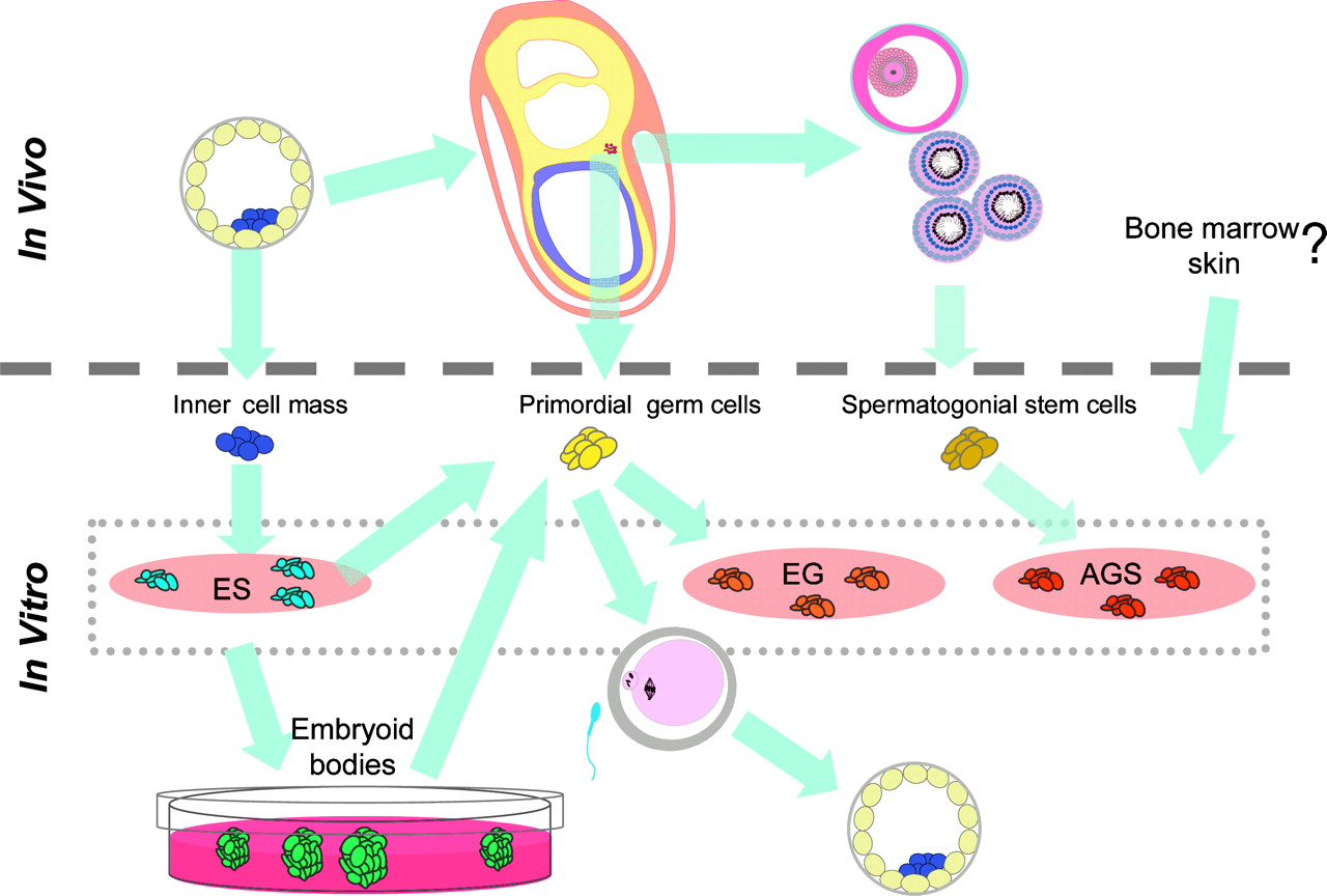 Germ Cells From Mouse And Human Embryonic Stem Reproduction Cell Diagram Showing Figure 3