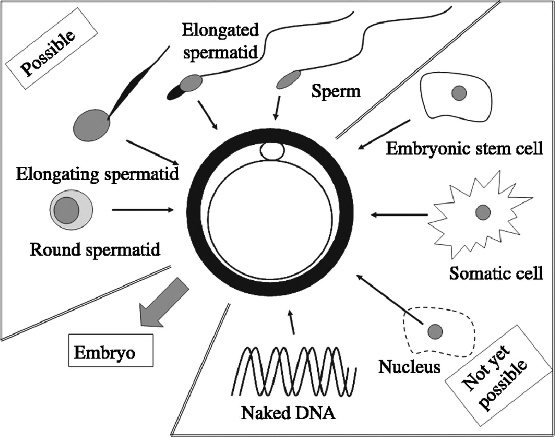 Potential scenarios to induce fertilization.