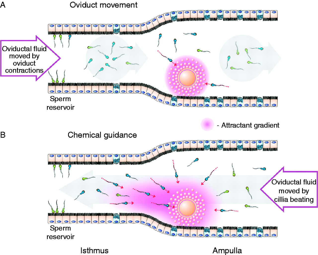 sperm transport and retention at the fertilization site is