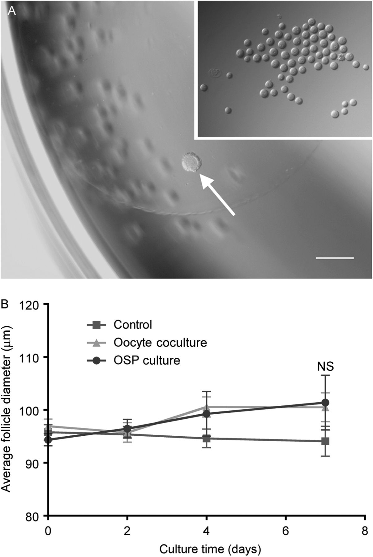 Multiple follicle culture supports primary follicle growth