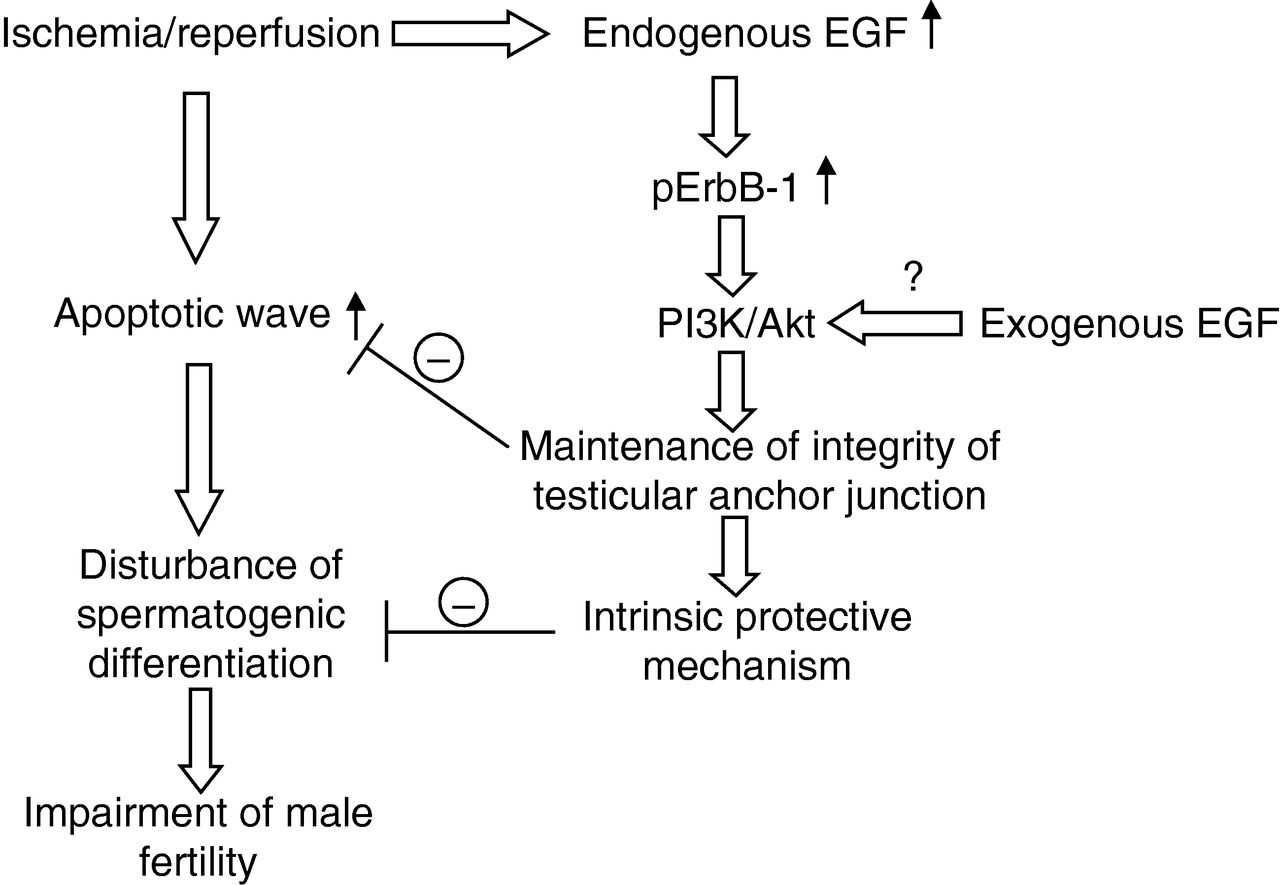 Endogenous Egf Maintains Sertoli Germ Cell Anchoring Junction Ezio Reed Relay Board Partially Blank Schematic Summary Diagram Of The Possible Mechanisms Related To Function Contributing Maintenance Integrity