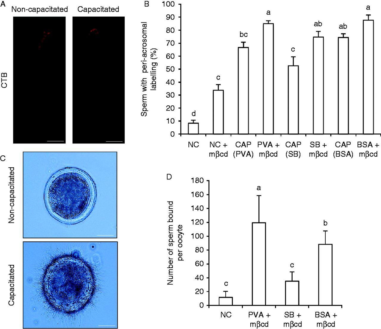 Sperm capacitation in vitro, porn nipples video