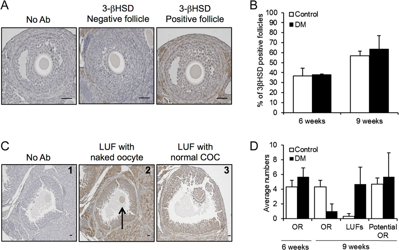 Dysregulation Of Follicle Development In A Mouse Model Of Premature