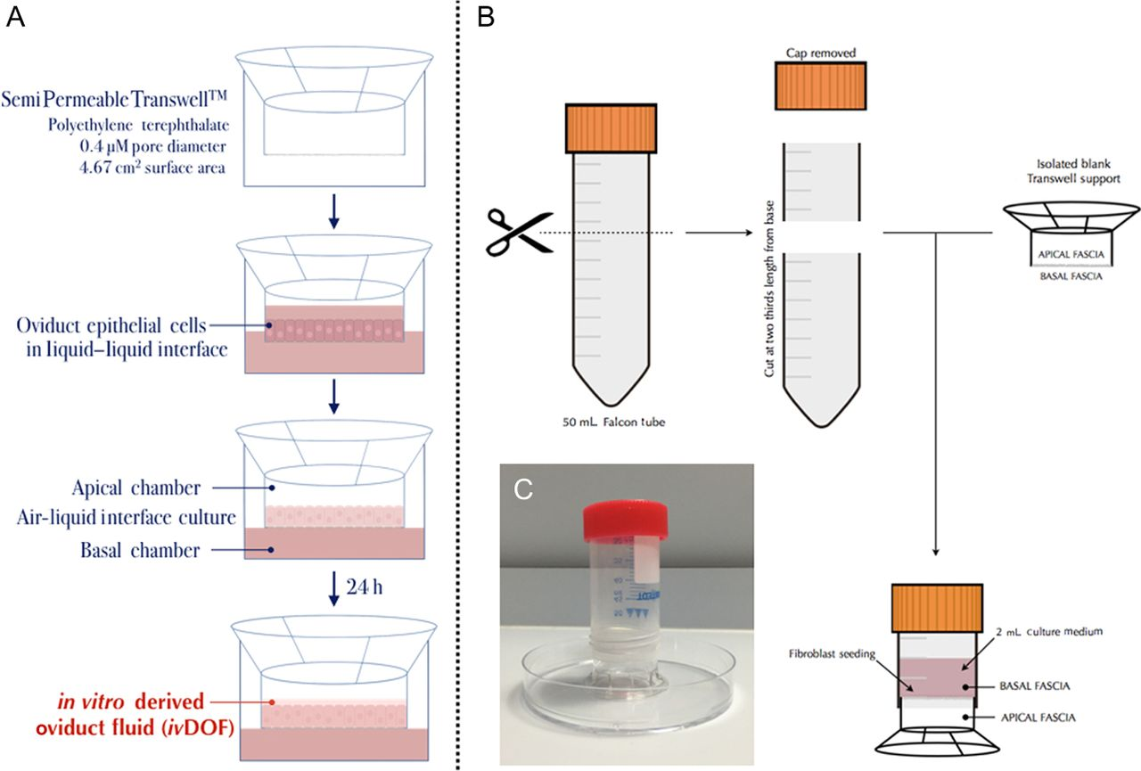 Modelling aspects of oviduct fluid formation in vitro in