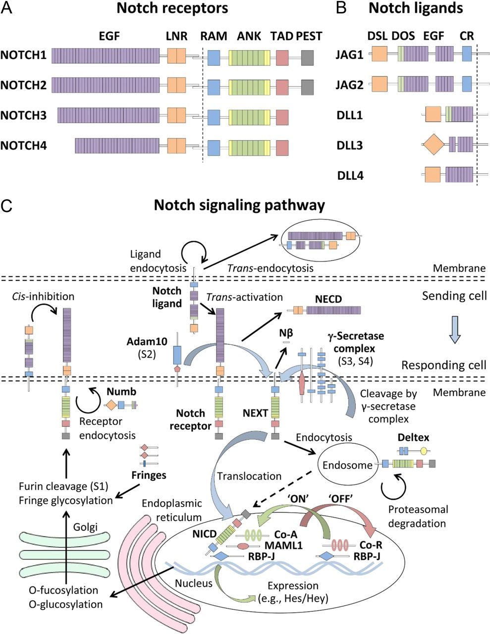 The role of Notch signaling in the mammalian ovary in