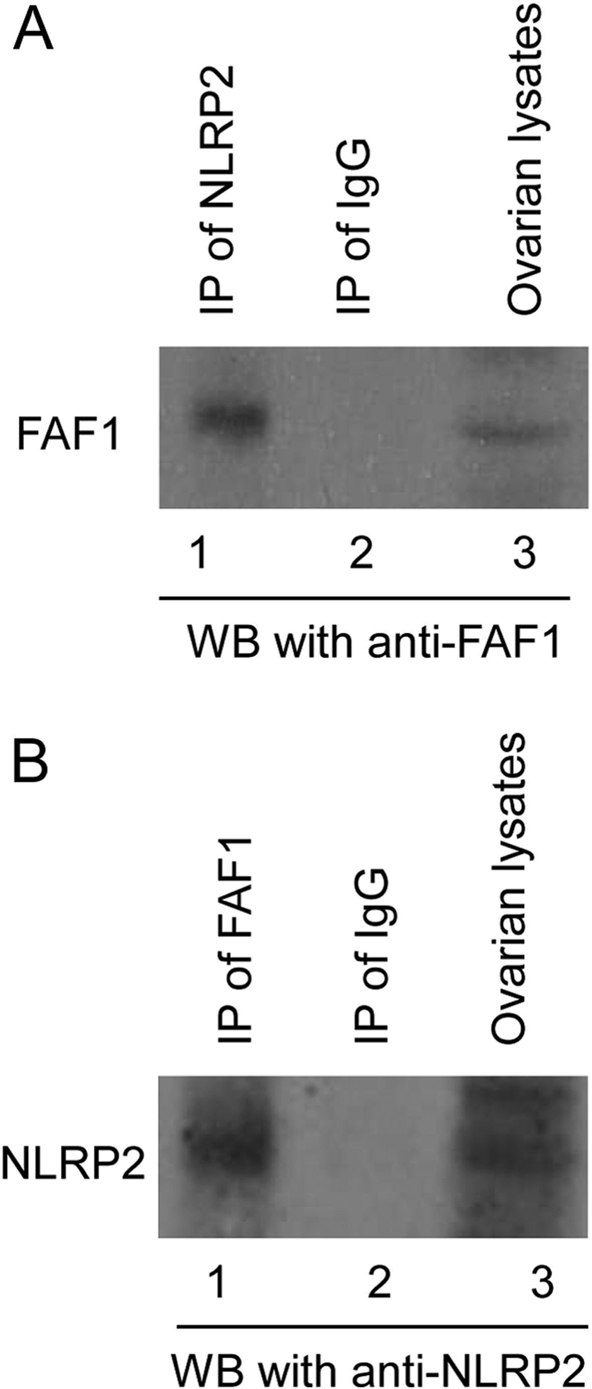 NLRP2 and FAF1 deficiency blocks early embryogenesis in the