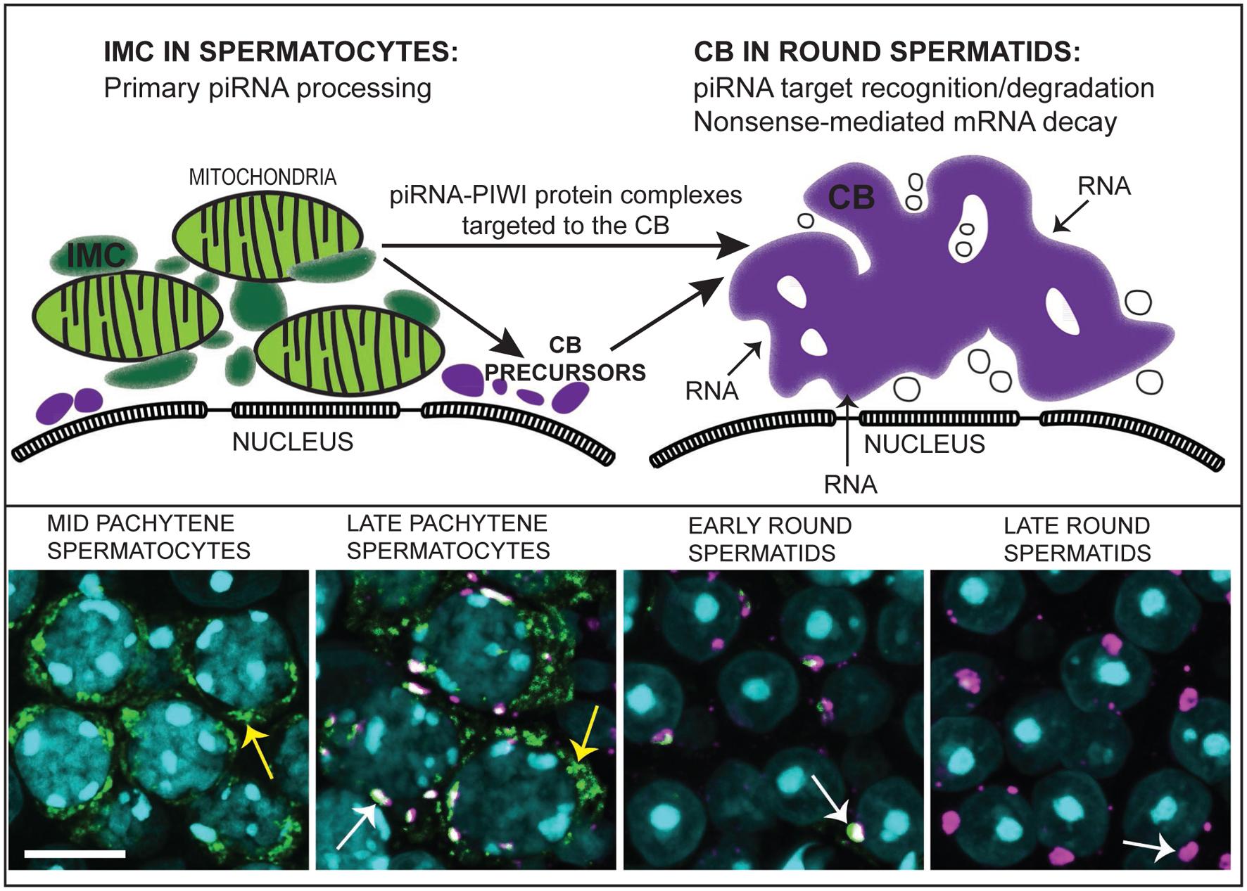 Germ Granule Mediated Rna Regulation In Male Cells Gm Fuse Box Split Figure 4