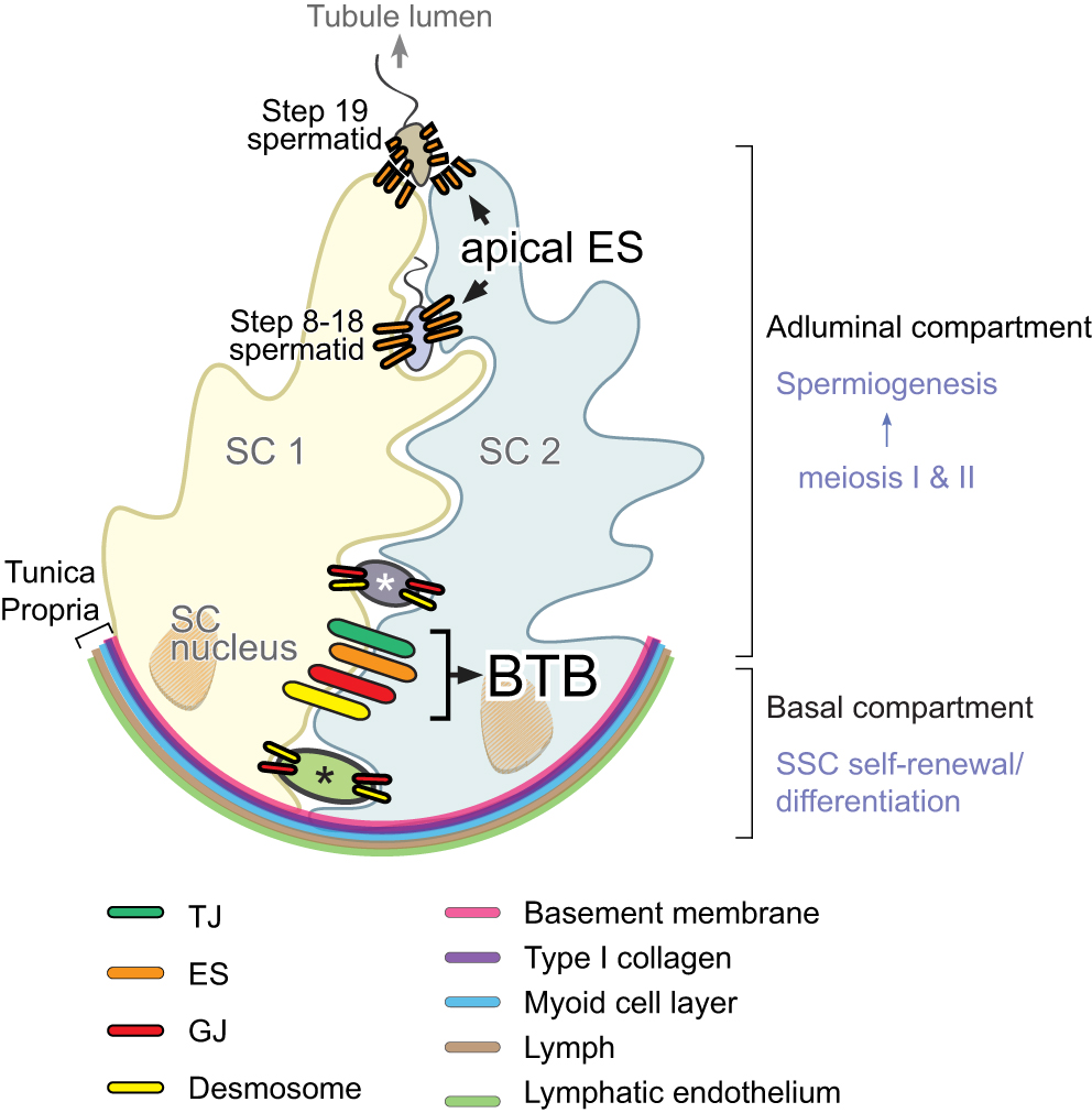 Cell Reproduction Concept Map Answers Biology Junction on