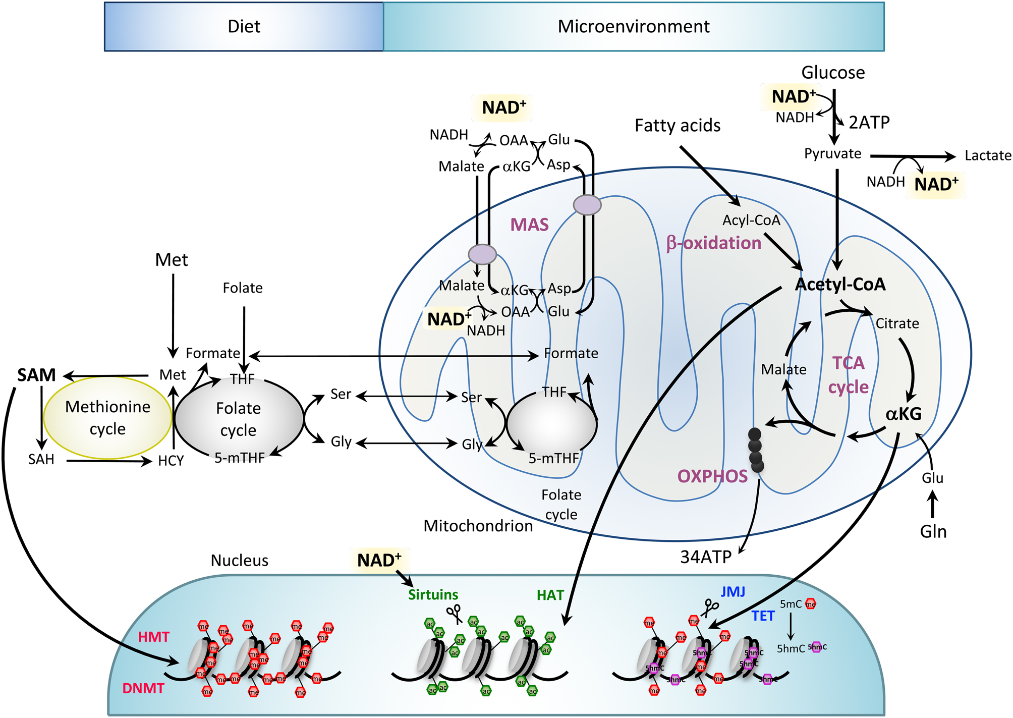 Mitochondria in early development: linking the ... on