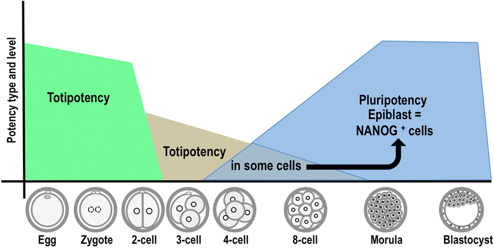Totipotency continuity from zygote to early blastomeres a