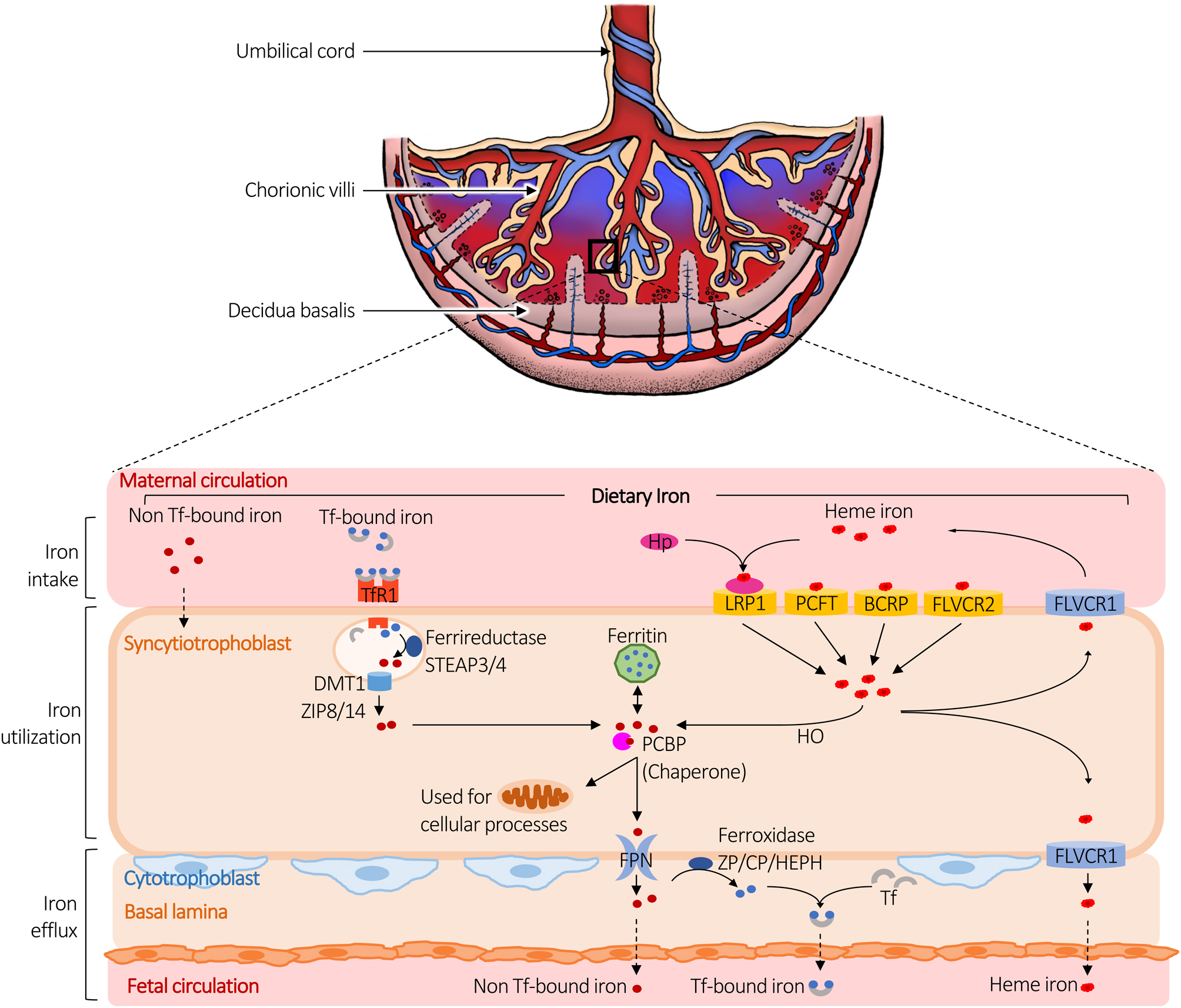 Maternal iron homeostasis effect on placental development and ...